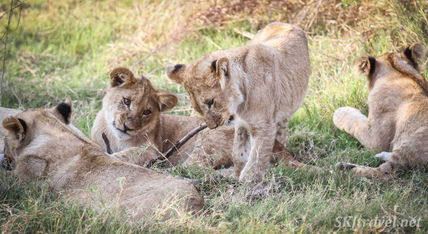 Lion cub coveting the stick another is playing with. Khwai Concessions, Botswana.