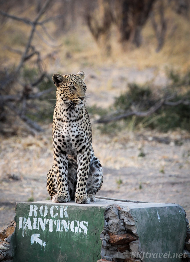 Female leopard sitting on a trail sign in Savuti, Botswana. Leopardess.