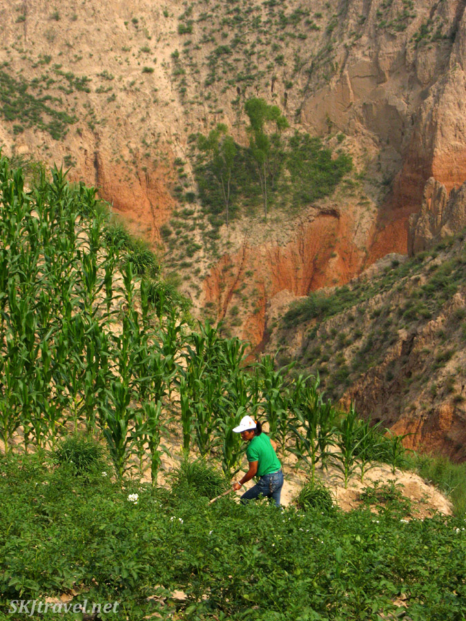 Village woman tending crops planted on a very steep pitch of land on the Loess Plateau ... Dang Jiashan village, Shaanxi Province, China.