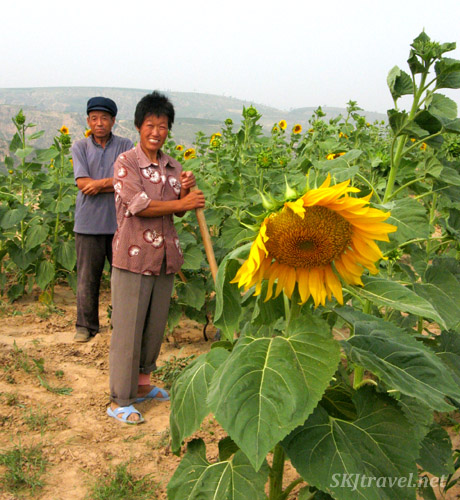 Chinese peasant couple in their sunflower fields, Dang Jia Shan village, Shaanxi Province, China.