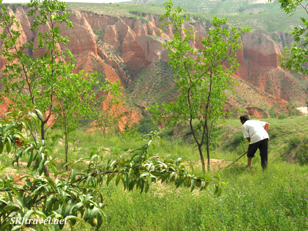 Hoeing wells around fruit trees to catch rain water. Dang Jia Shan village, Shaanxi Province, China.