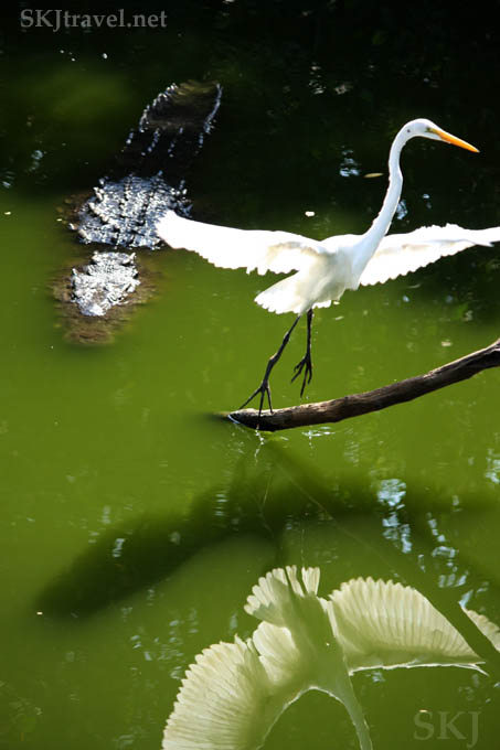Egret flying away from approaching crocodile. Popoyote Lagoon, Playa Linda, Ixtapa, Mexico.