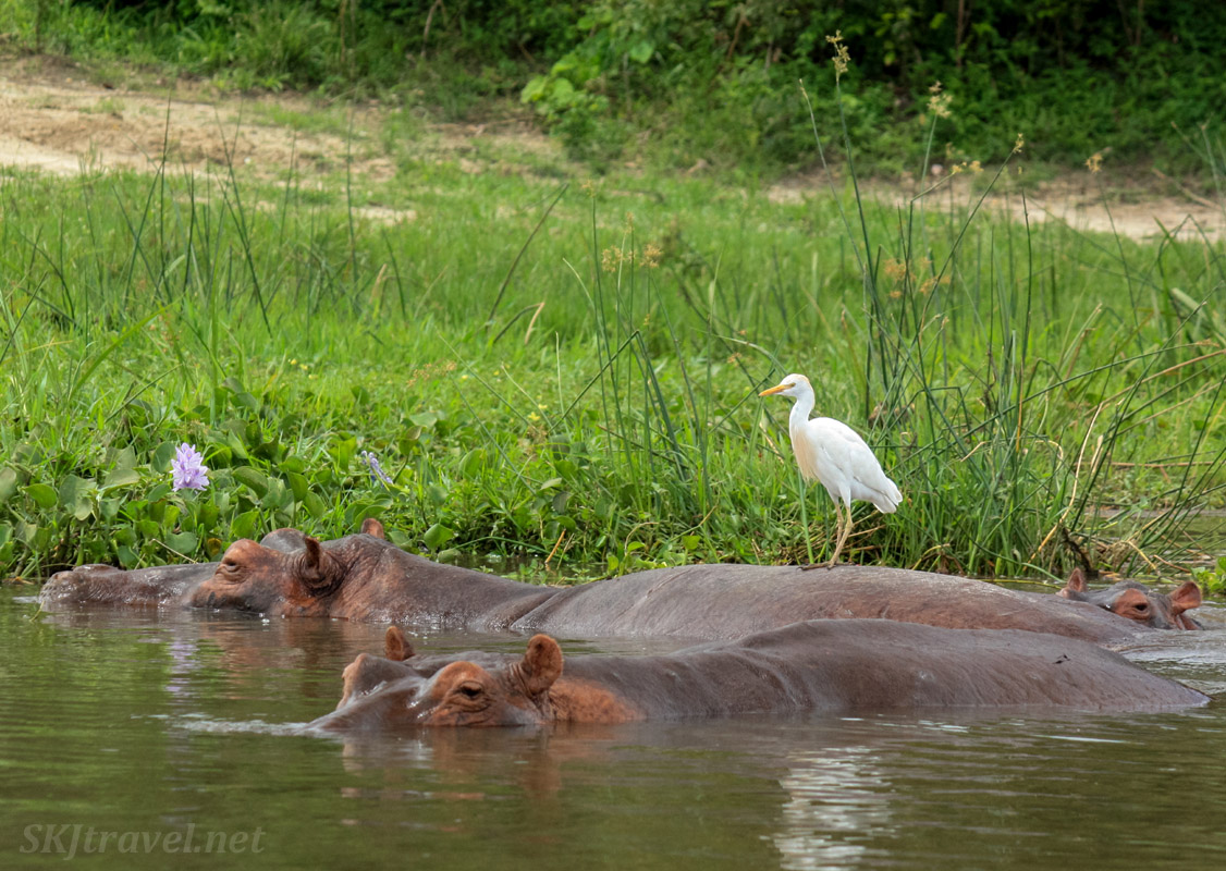 Pair of hippos submerged in the water and an egret perched on top. Murchison Falls National Park, Uganda.