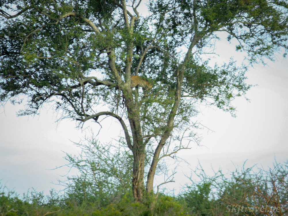 Leopard in a tree, barely visible, Murchison Falls National Park, Uganda.