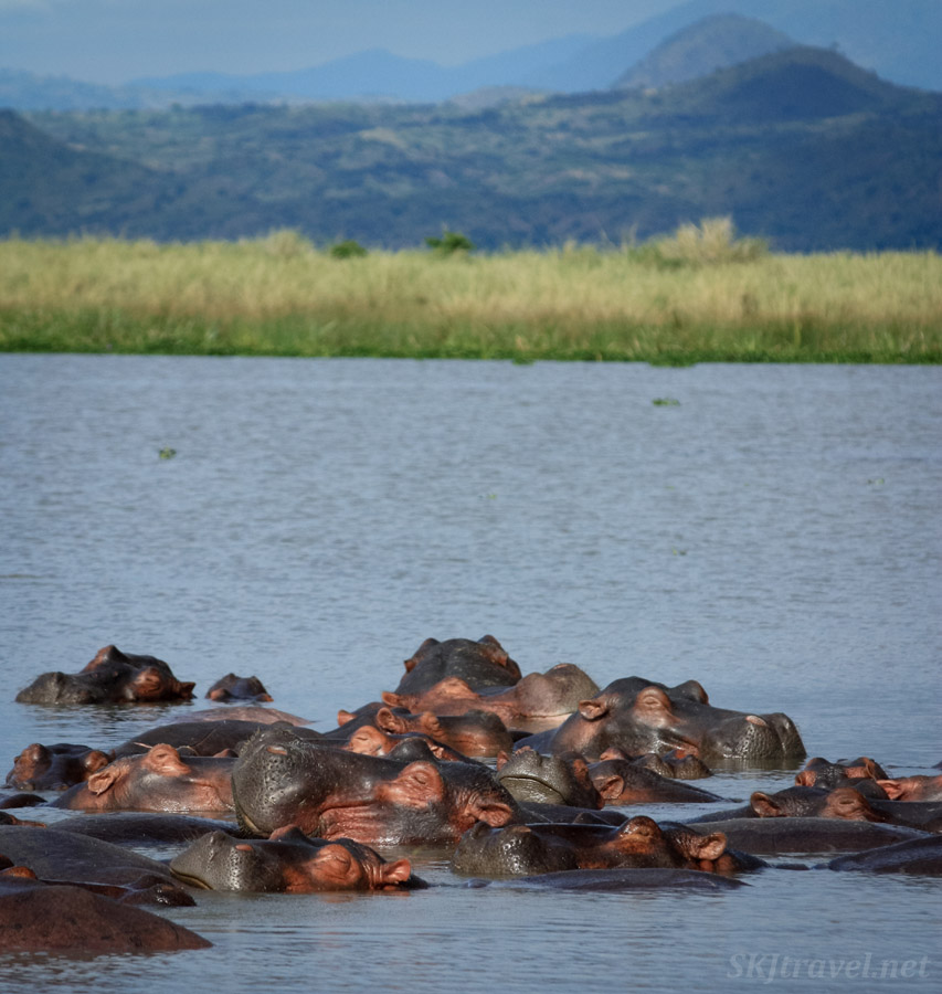 Many hippos tightly packed together submerged in a pool in Murchison Falls National Park, Uganda.
