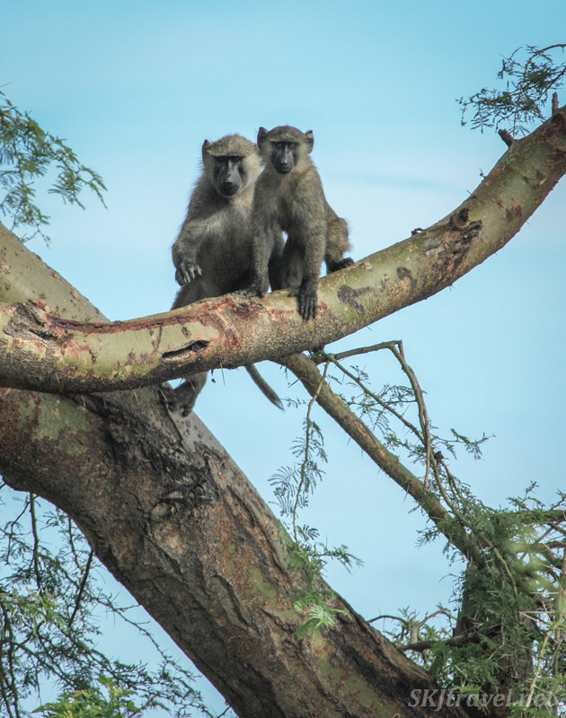 Two baboons sitting on a tree limb, Murchison Falls National Park, Uganda.