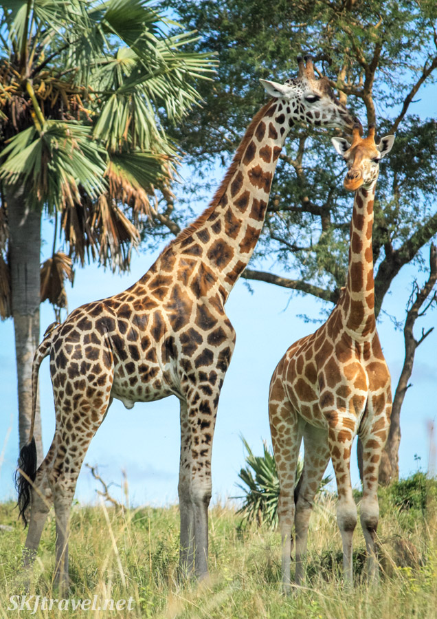 Two giraffes munching tree leaves together. Murchison Falls National Park, Uganda.