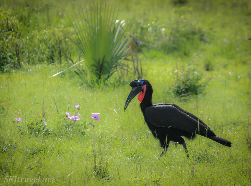 Abyssinian ground hornbill, Murchison Falls National Park, Uganda. Red neck, blue patch on head.