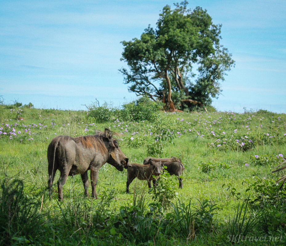 Warthog mom and babies tromping through a field of purple flowers at Murchison Falls National Park, Uganda.