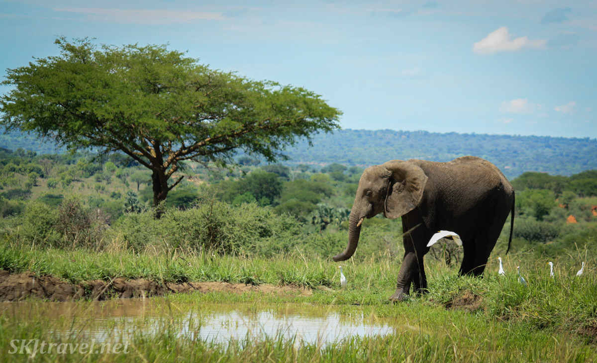 Elephant standing at a water hole. Murchison Falls National Park, Uganda.