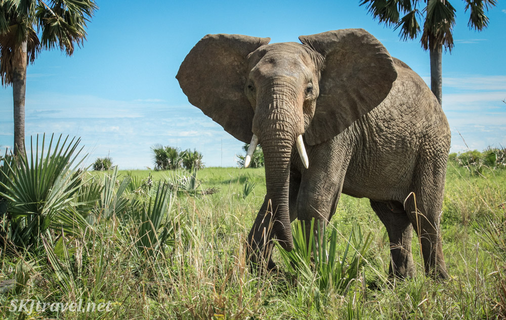 Elephant greeting us with ears at full attention. Murchison Falls National Park, Uganda.