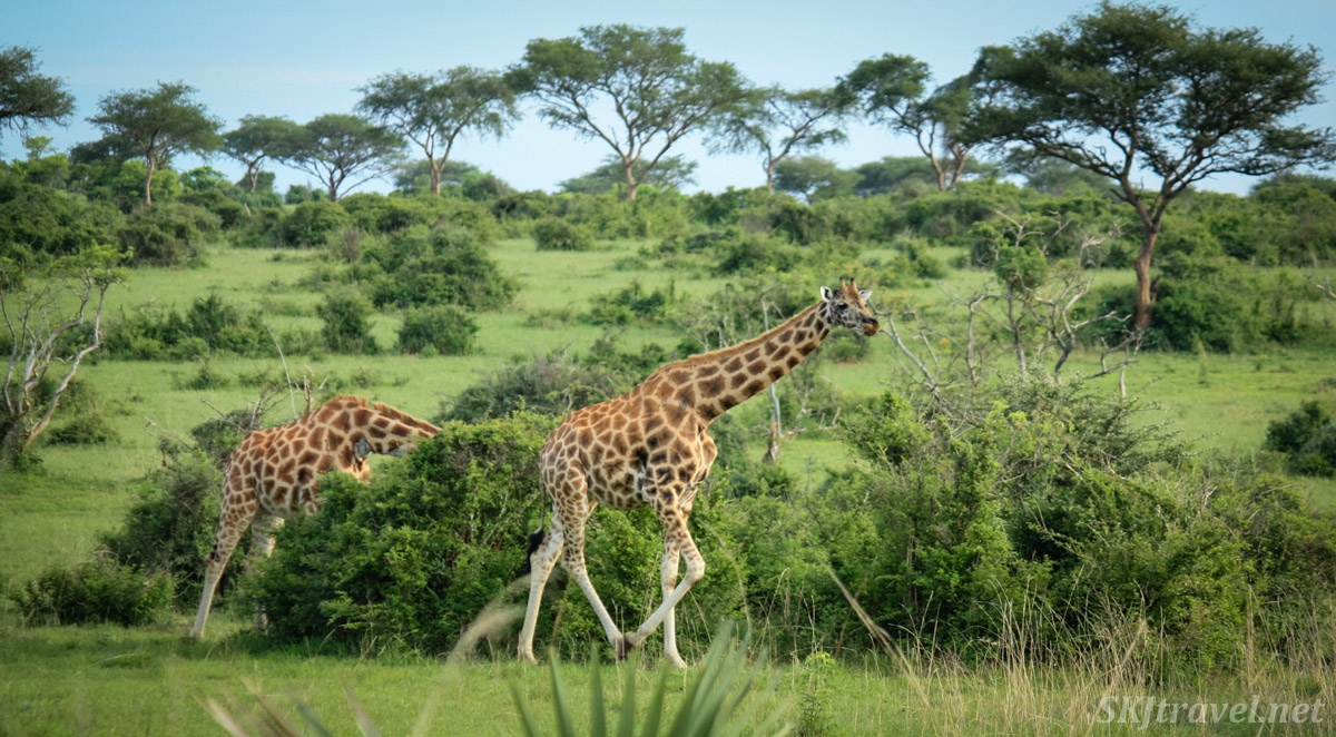 Giraffe walking through lush green savanna at Murchison Falls National Park, Uganda.