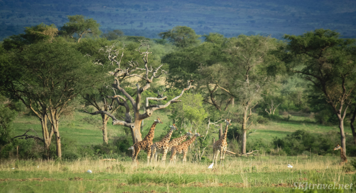 Giraffes in the forest in the distance at Murchison Falls national park, Uganda.