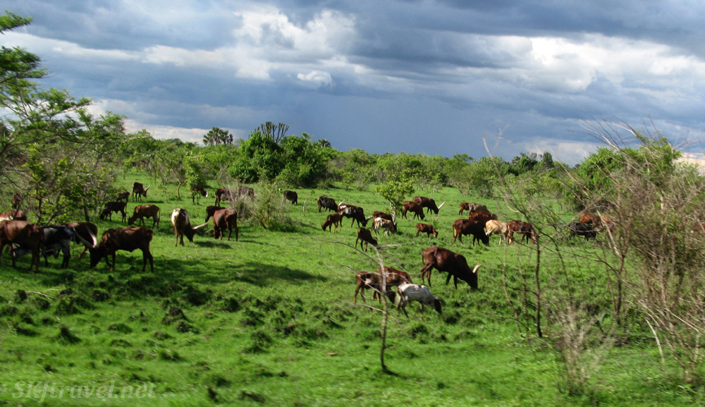 Cows dot the land along the roads in rural Uganda.