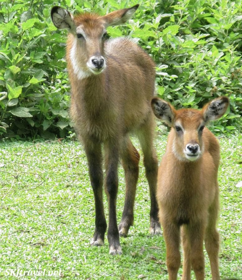 Female waterbuck and baby. Feeding time at the UWEC.