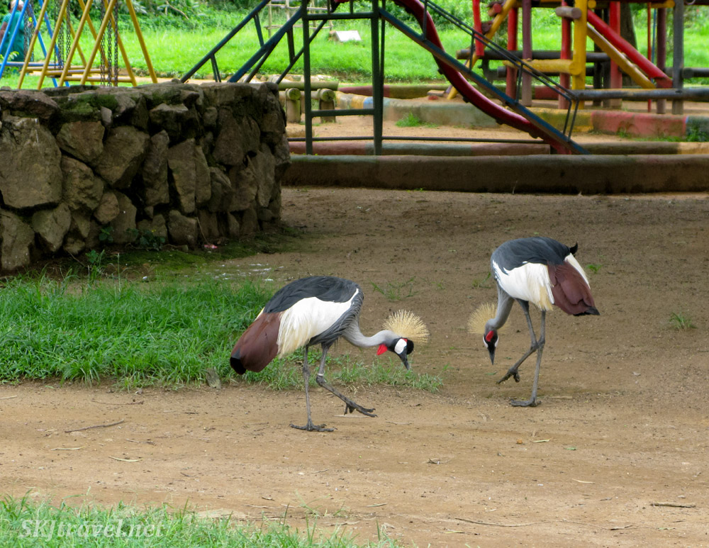 Grey crowned cranes freely roam the grounds of the UWEC.