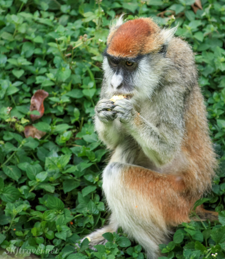 Patas monkey eating fruit for breakfast at the UWEC.