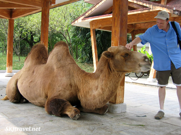Dromedary camel sitting near a parking lot. Guilin, China.