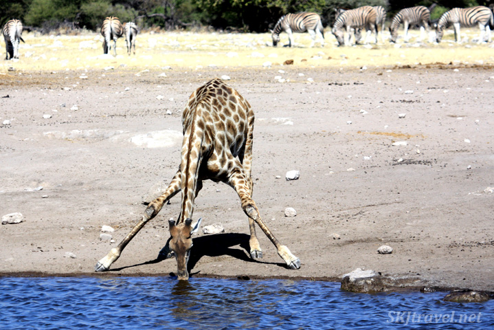 Touch down ... the giraffe's landing gear has hit target ... a nice drink of blue water. Etosha national park, Namibia.