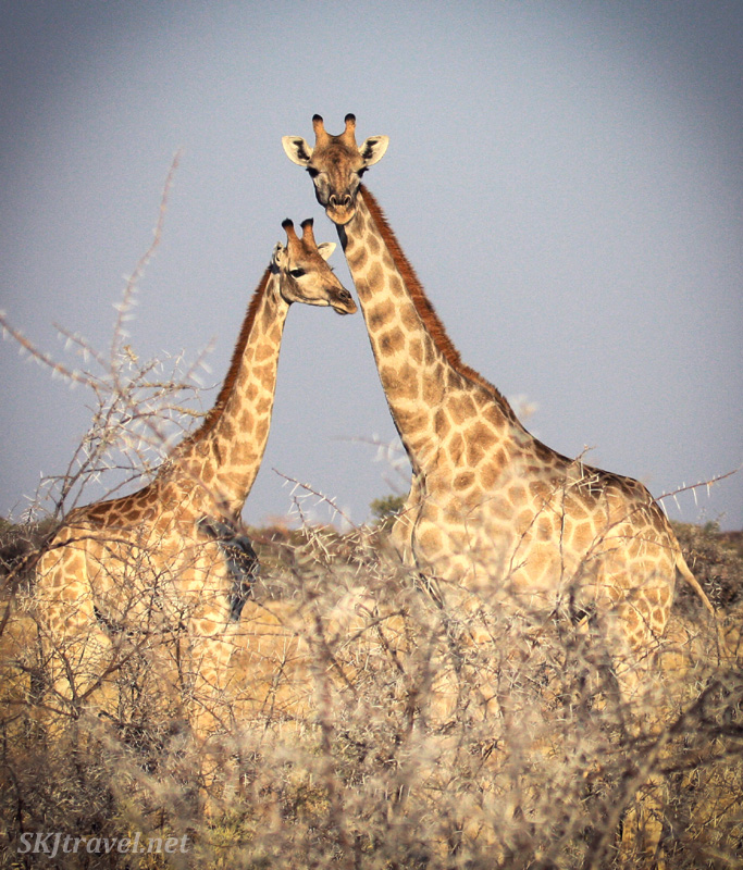 Two giraffes facing each other, Etosha National Park, Namibia.