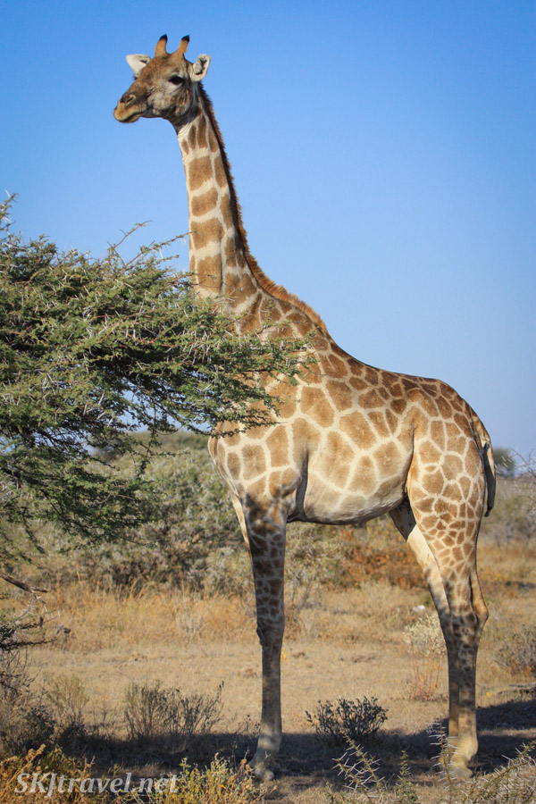 Giraffe in profile, Etosha National Park, Namibia.