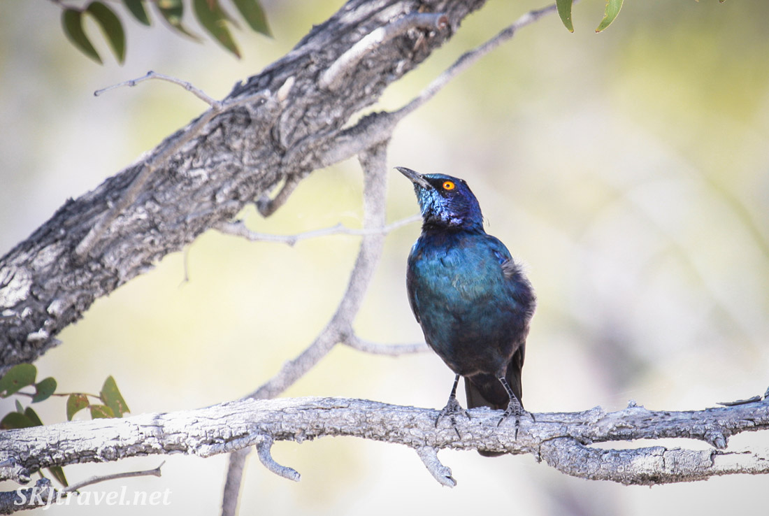 Blue-eared starling perched on a tree branch, Etosha National Park, Namibia.