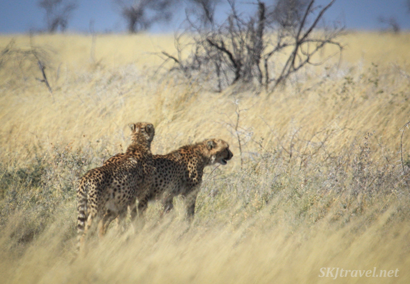 Two cheetahs looking across the tall grass on the plains of Etosha National Park, Namibia.