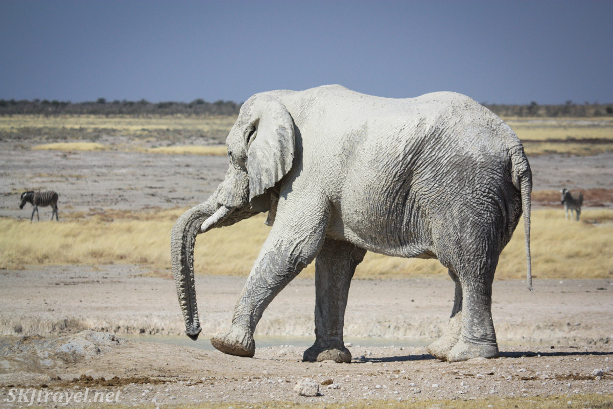 Lone elephant near a water hole in Etosha national park, Namibia. Looks like he's dancing the hokey-pokey.