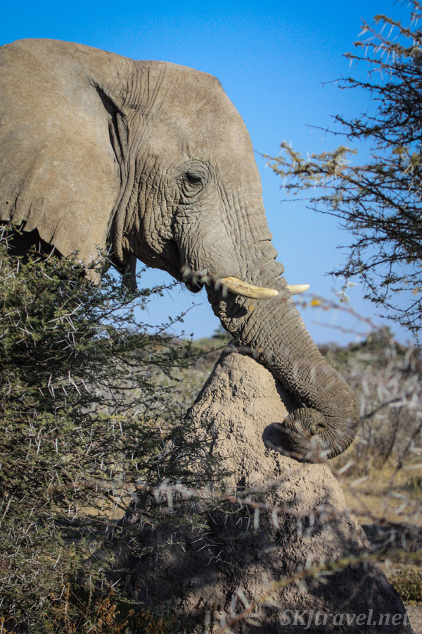 Elephant feeling a termite mound with its trunk. Etosha national park, Namibia.