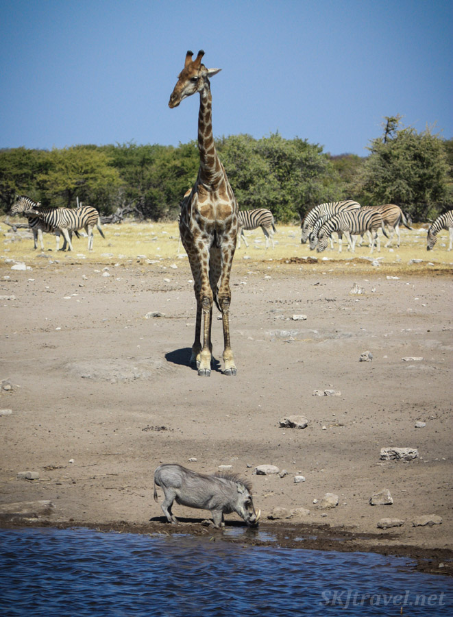 Giraffe walking to water hole towers over a warthog lapping at the edge. Etosha National Park, Namibia.