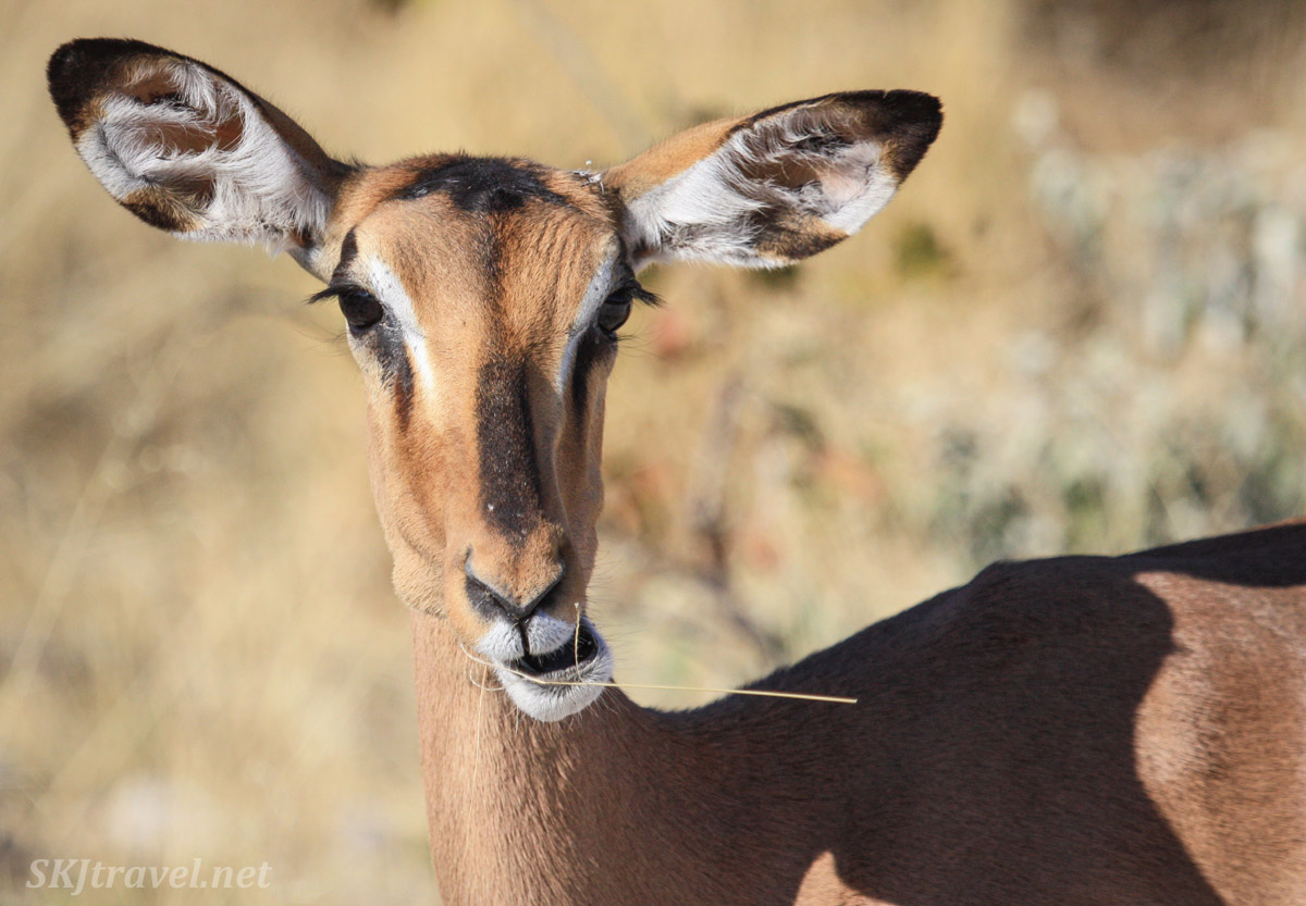 Female black-faced impala, Etosha national park, Namibia.
