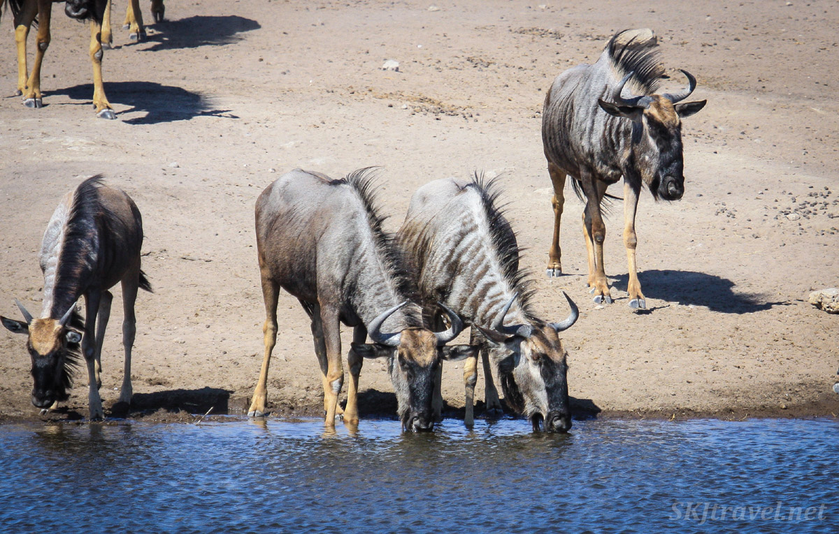 Blue wildebeests drinking at a water hole in Etosha national park, Namibia.