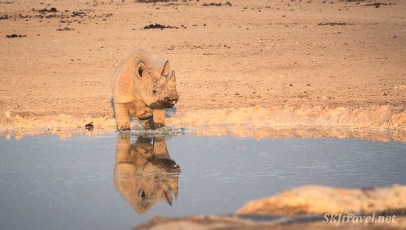 Young black rhino drinking and playing in a waterhole, Etosha NP, Namibia.