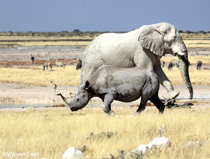Elephant and black rhino crossing paths at a waterhole, with zebras and oryx in the background. Etosha NP, Namibia.