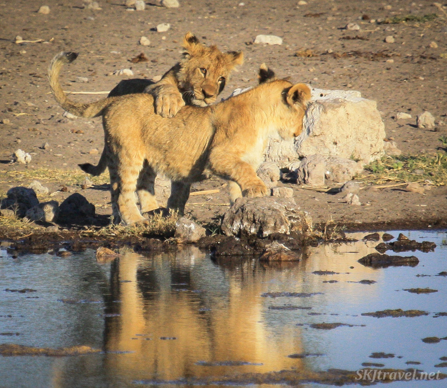 A lion cub about to take down a sibling, playing at a water hole in Etosha NP, Namibia.