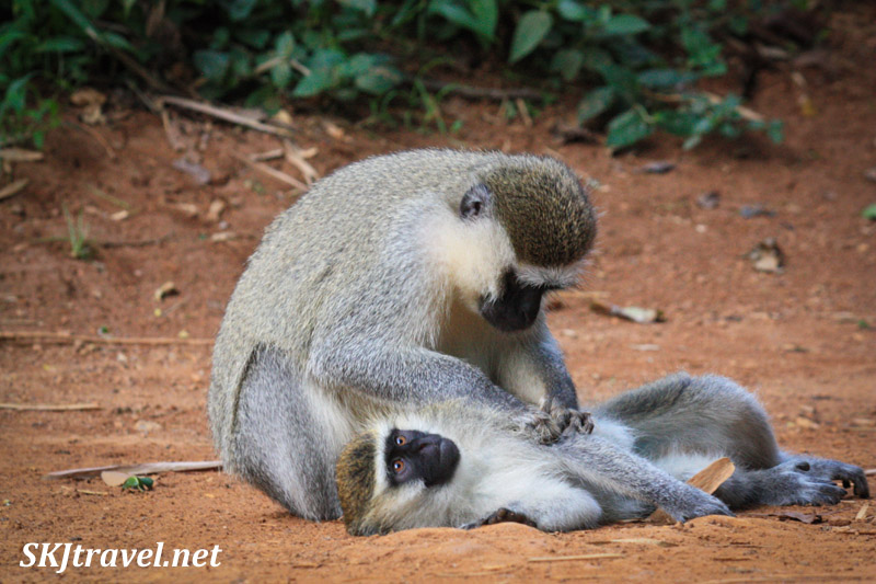 Vervet monkey grooming another lying in the road. Uganda.