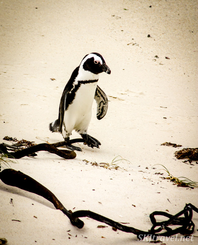 Lone penguin trundling along Boulder Beach, Cape Town, South Africa.