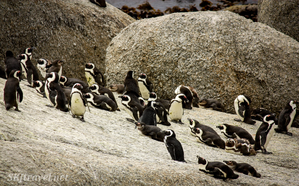 Penguins at Boulder Beach, Cape Town, South Africa.
