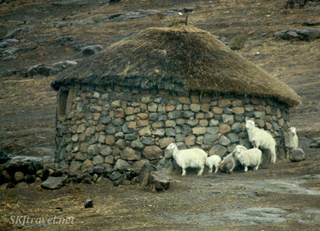 sheep huddling around a stone rondeval