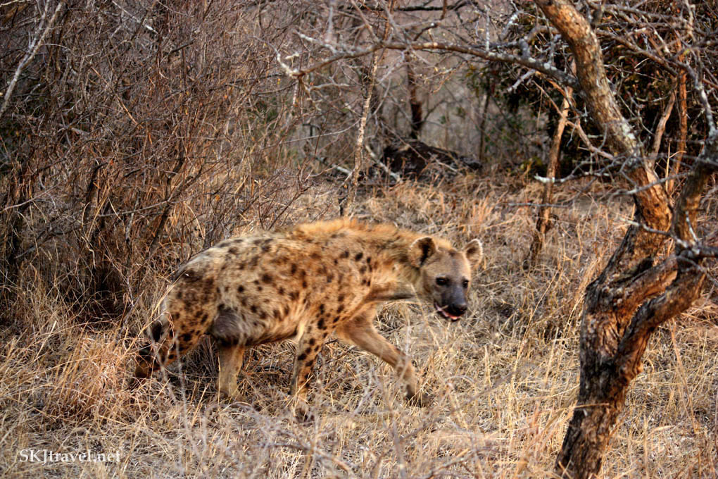 Hyena slinking away into the bushes.