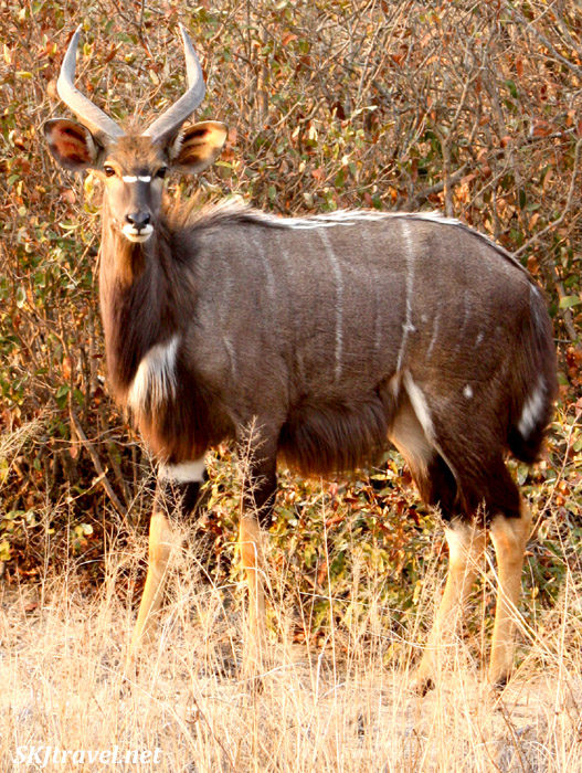 Male nyala in bushes.