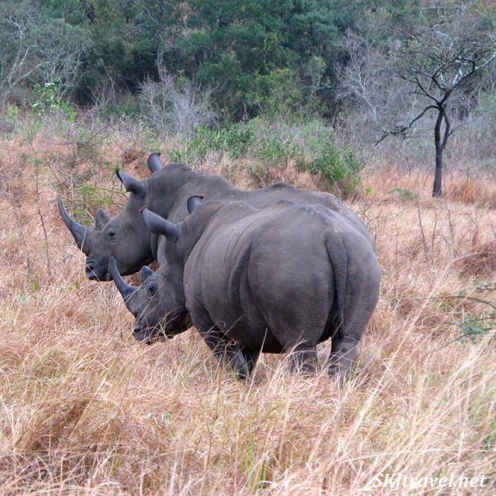 two black rhinos in a field of tall weeds
