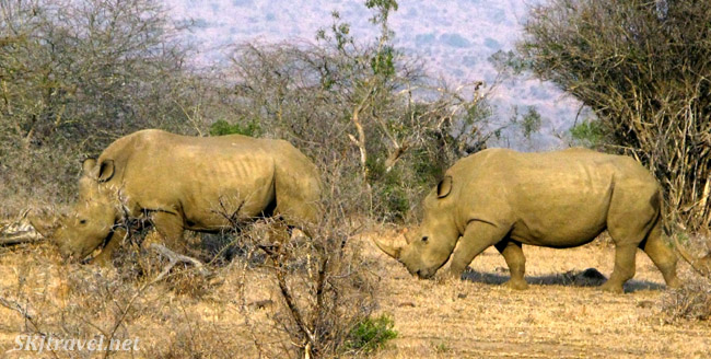 Two rhinos walking one behind the other