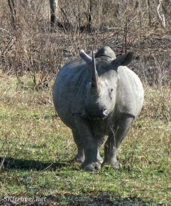 Large white rhino staring straight at camera