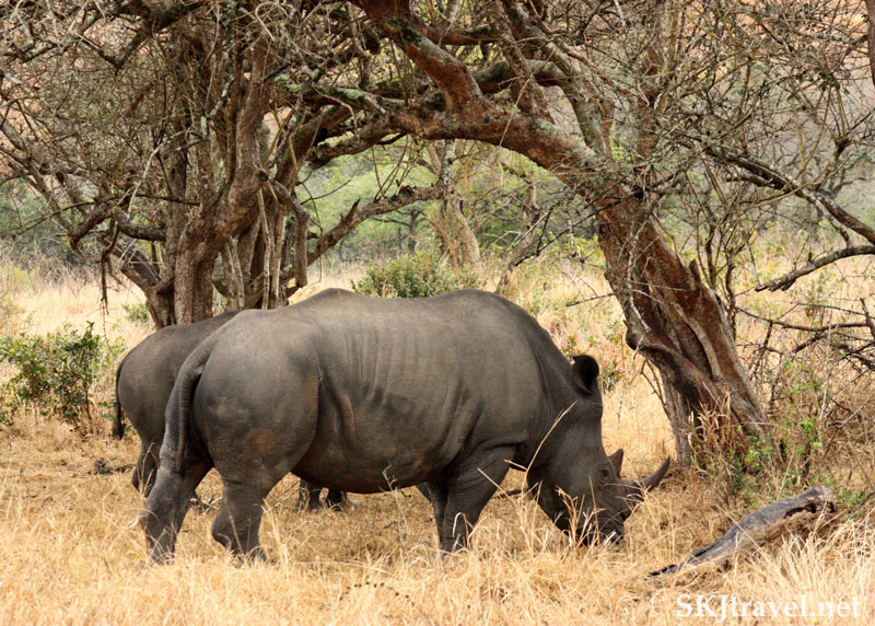 Two black rhinos beneath a tree.