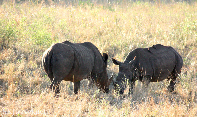 Two rhinos facing each other eating in a field of tall weeds.
