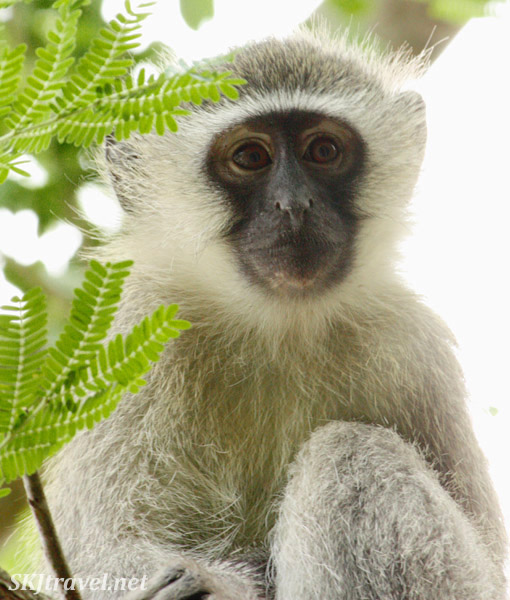 Vervet monkey in a tree branch.