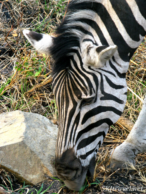 Close up of zebra head, eating from ground.