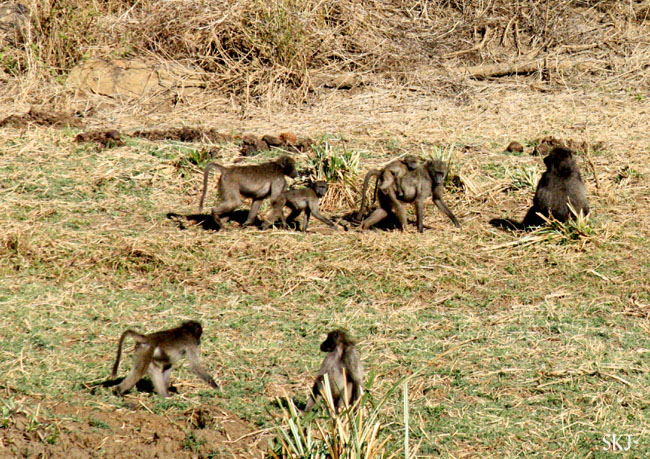 Family group of baboons in weeds.
