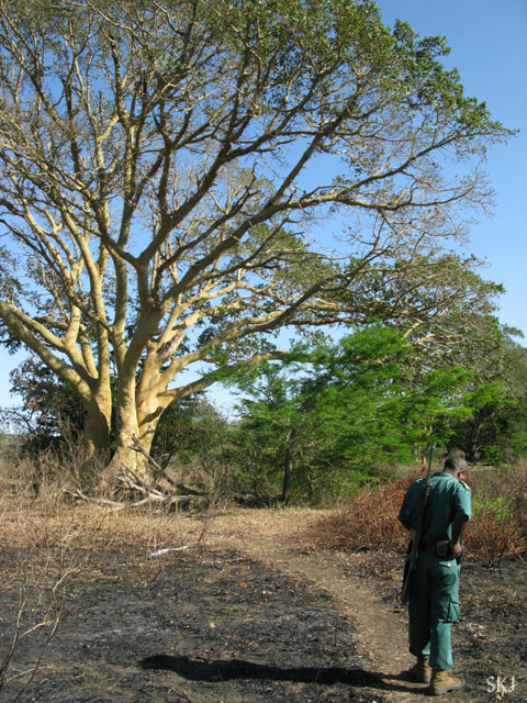 Park ranger standing beneath a large tree.
